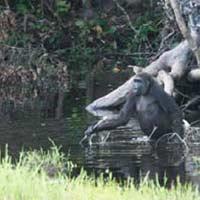 Los chimpancés también se apuntan